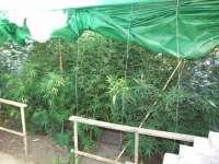 La Guardia Civil interviene 12 plantas de marihuana y detiene a una mujer de 63 años en Posadas