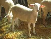 La CARM obtiene un pienso con extracto de romero que mejora la calidad de la carne de cordero y prolonga su vida útil