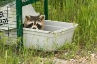 El mapache propaga numerosas enfermedades infecciosas y peligrosas tras establecerse en Europa