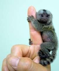 Llegan al Zoobotánico de Jerez tres ejemplares de la especie de monos más pequeña del mundo