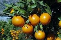 La Unió denuncia que se inicia una nueva campaña citrícola sin usar el contrato de compraventa
