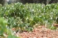 Convocado concurso para adjudicar casi 13 hectáreas de derechos de plantación de viñedos de la Reserva Regional