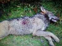 Los ecologistas afirman que uno de los lobos abatidos en Picos de Europa era objeto de un estudio científico