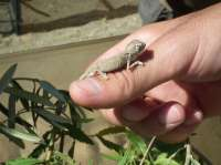 Nacen los cinco primeros camaleones comunes en el Centro de Conservación y Recuperación de Málaga
