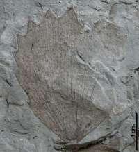 Paleontólogos descubren en Estercuel un nuevo yacimiento de plantas fósiles del Cretácico Inferior