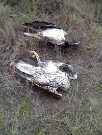 Dos personas son condenadas por un delito de envenenamiento de fauna silvestre