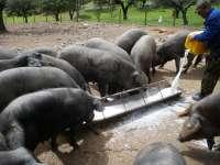 Organizaciones agrarias prepararán alegaciones la próxima semana contra el borrador de la norma del ibérico