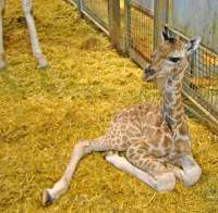 Nace una cría de jirafa en Bioparc de una especie
