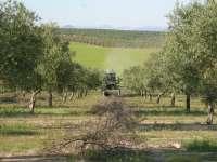 La cosecha de aceite de oliva será