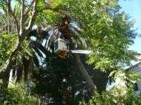 El picudo rojo acaba con cientos de palmeras en el campus de Espinardo de la Universidad de Murcia
