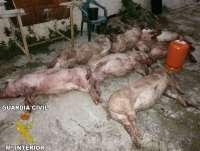 Detenidos dos hombres que transportaban siete cerdos muertos sustraídos en una granja de Benigànim