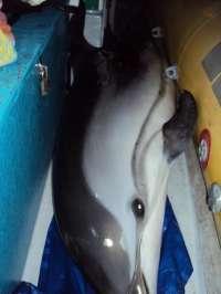 Recatan un delfín que varó en Playa Chica, en Fuerteventura