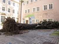 El drago de la Escuela de Bellas Artes no es recuperable porque todas las ramas principales están fracturadas