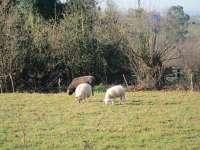El Ministerio de Agricultura detecta el virus de la lengua azul en zonas del norte de Extremadura