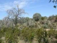 Iprocor publica una página web con información detallada sobre la enfermedad de la seca de la encina en Extremadura