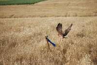 Protegen más de un centenar de nidos en la provincia para la conservación del aguilucho cenizo