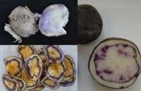 Neiker obtiene clones de patata de carne morada y amarilla con