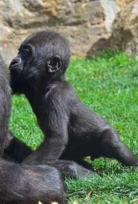 Ebo, el primer gorila valenciano, ya da sus primeros pasos y este viernes cumple seis meses