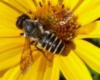 Agricultura desarrolla un proyecto para conservar las poblaciones de abejas silvestres,