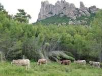 La prevención de incendios con cabras y vacas supone un ahorro económico de un 75%