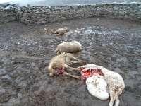 La APAG denuncia que los ataques de lobos han vuelto a producirse en la zona de Atienza (Guadalajara)