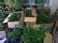 La Guardia Civil se incauta de 432 plantas de marihuana y detiene a dos personas en Méntrida (Toledo)