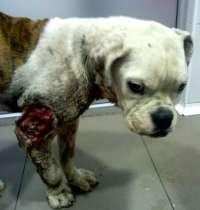 Una entidad pide a Fiscalía que investigue si una perra pudo ser usada en peleas de canes en Alzira