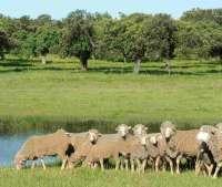Ampliado hasta el 30 de junio el plazo para el pastoreo de ovino en superficies acogidas a las ayudas a la forestación