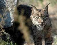 La Junta anuncia que en 2013 se definirán los lugares de las primeras sueltas de linces fuera de Andalucía