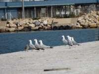 Finaliza con éxito la nidificación de la gaviota corsa en el Puerto de Tarragona