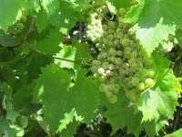 Aumenta un 16% la cosecha de uva de mesa y supera las 146.000 tn con un valor de 127 millones en 2012