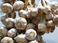 Aprocoa culpa a la bajada de precios del ajo chino de la pérdida de rentabilidad para los agricultores andaluces