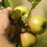 Fruits de Ponent cultiva manzanos en la zona regable del Segarra-Garrigues del Prepirineo