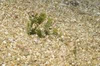 Junta erradica un alga invasora en una reserva natural de Posidonia del parque natural de Cabo de Gata-Níjar
