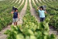 La nueva vendimia arranca marcada por el descenso del 15% de la cosecha y la