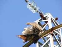 Ecologistas advierten de las muertes de aves en la Serranía de Ronda por tendidos eléctricos sin aislamiento