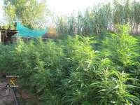 La Guardia Civil descubre 195 plantas de marihuana en Vilafant (Girona)