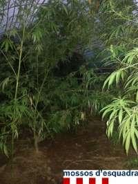 Tres detenidos con 130 plantas de marihuana en Sant Miquel de Fluvià (Girona)