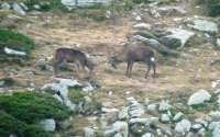 La Red de Espacios Naturales organiza salidas guiadas para ver la berrea del ciervo en Saja Besaya, Liébana y Campoo