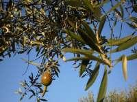 Alertan sobre el riesgo de liberar moscas transgénicas para evitar plagas en olivos