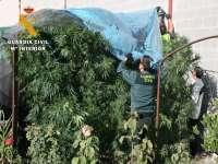 La Guardia Civil interviene 151 plantas de cannabis, detiene a once personas e imputa a otras diez