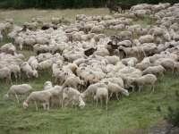 Más de 200 explotaciones de ovino de CyL se beneficiarán de los 1,8 millones de euros concedidos por la Junta al sector