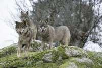 Junta pondrá a disposición de los ganaderos de C-LM ayudas para prevenir posibles ataques de lobo ibérico