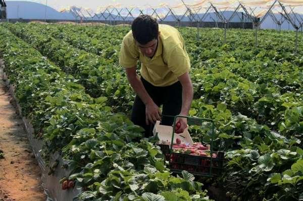 Comienza la recolección de las variedades tempranas de fresa, que se prolongará todo el mes de enero