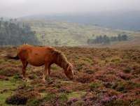 El caballo de monte gallego contribuye a reducir el riesgo de incendios y facilita la conservación del lobo