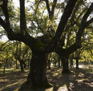 Cu nto sabes sobre los bosques espa oles trivials en for Cuanto miden los arboles