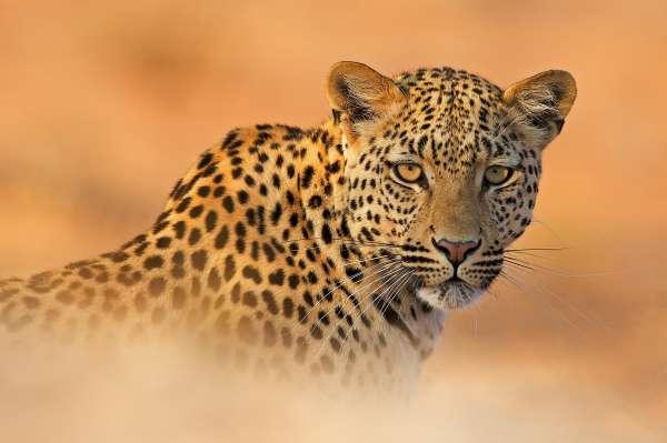 El guepardo se incorpora a Cabárceno con cinco ejemplares procedentes de Suecia