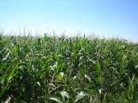 Cae un 1,01% la superficie de maíz, con 120.723 hectáreas en CyL y León como la provincia con la mayor producción