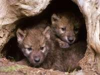 Aumenta un 20% la población de lobos en la Comunidad, con 179 manadas y 1.600 cabezas en época estival