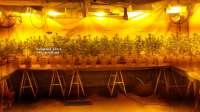 Desmantelan un invernadero de marihuana en Coín con 240 plantas y detienen a tres personas